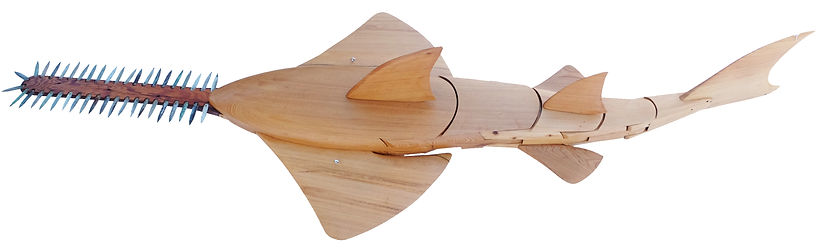 sawfish top angle.jpg