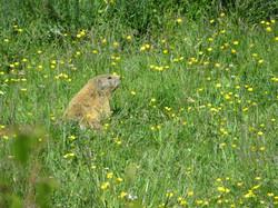une marmotte.JPG