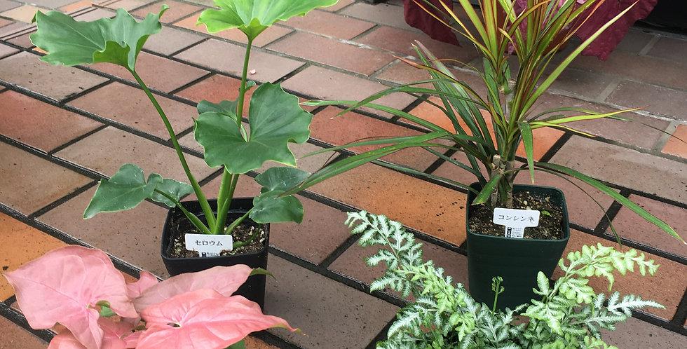 商品名 ミニ観葉植物 各種