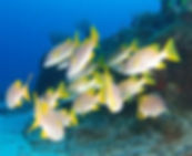 Yellow Tail Snapper.jpg