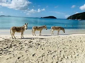 Donkeys_at_Maho.jpg