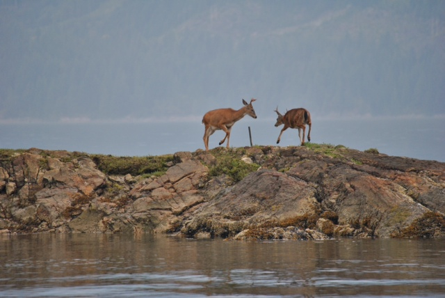 Deer on the point