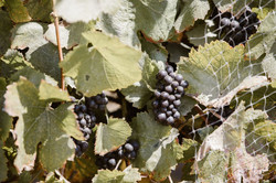Pinot Clusters