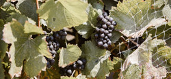 Pinot%20Clusters_edited