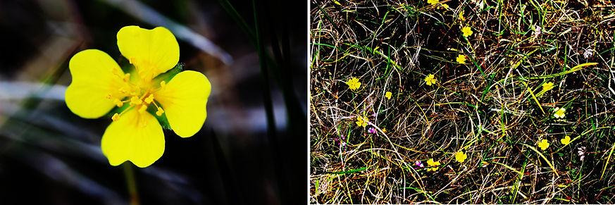 walk flower yellow.jpg