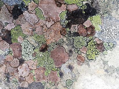 lichen patchwork reduced.jpg
