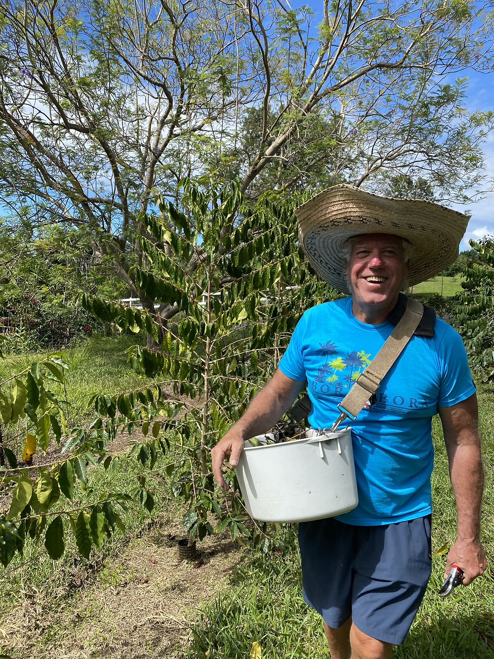 Farmer on coffee farm, pruning coffee in Kona Hawaii