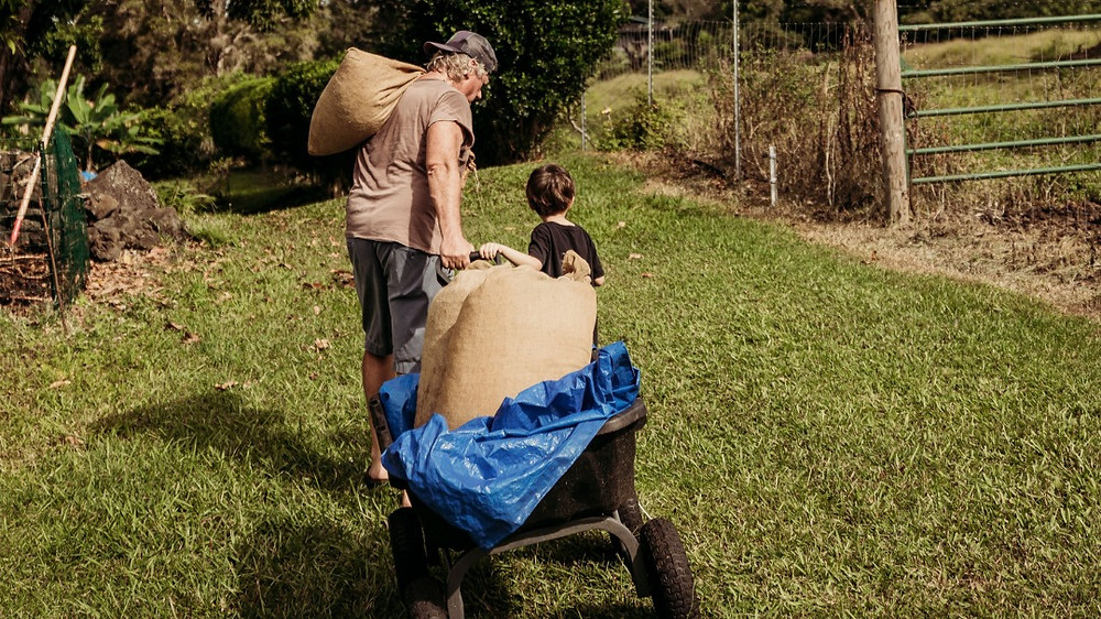 Man and small boy haul coffee in sacs and wheel barrel