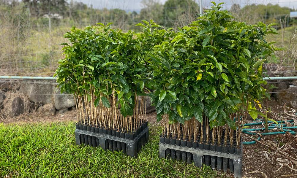 SL-34 coffee trees ready to plant