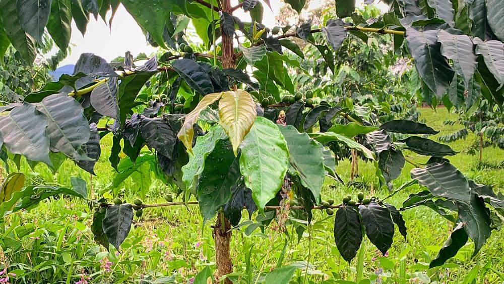 Kona typica at Ulu coffee farm in Holualoa Hawaii