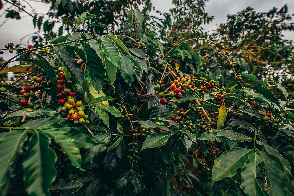 Coffee tree with ripening coffee fruit growing naturally on Ulu coffee farm in Kona Hawaii.