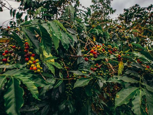 The Legacy of Hawaiian Kona Coffee