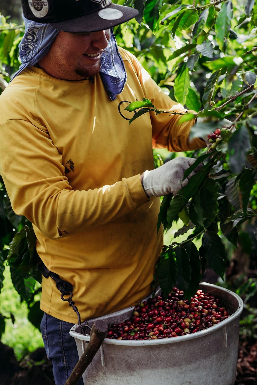 Man picking coffee cherries in Kona Hawaii at Ulu Coffee farm during harvest in 2020