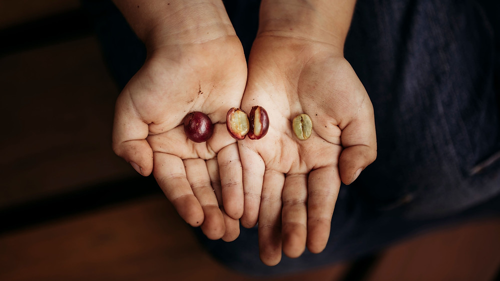 hand holding red coffee cherry that is split in two with a green coffee bean