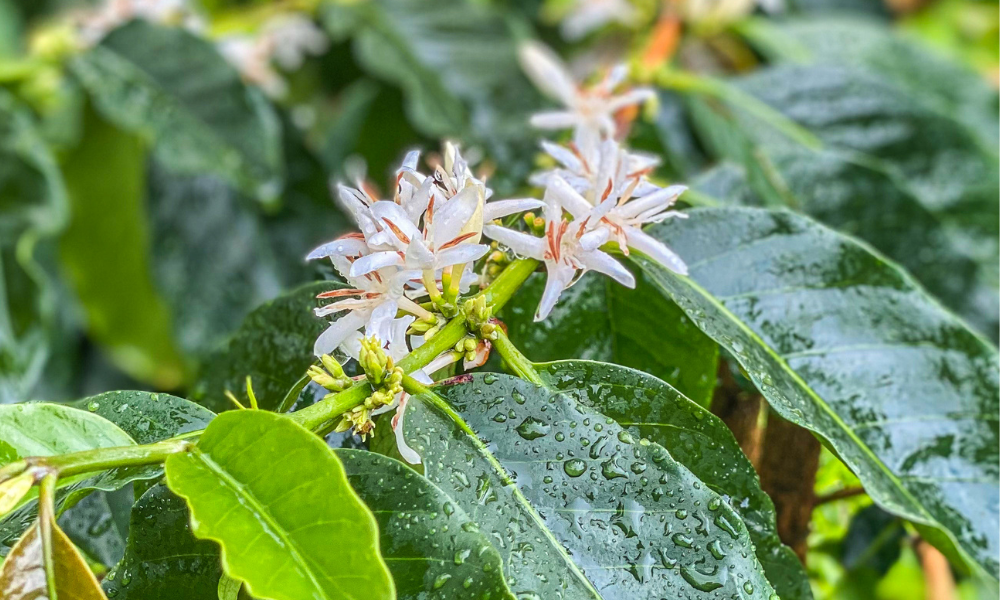 Coffee trees bloom under drizzling rain on a kona coffee farm