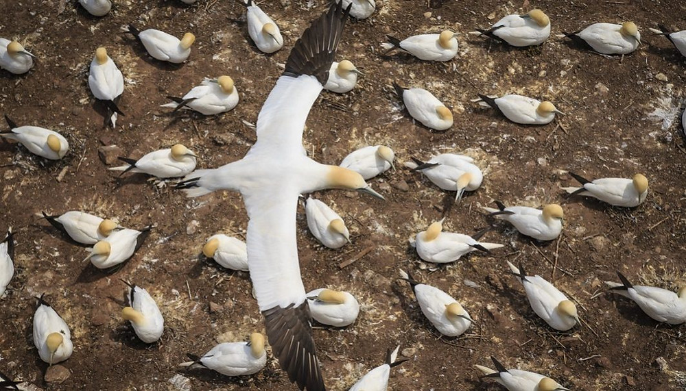 northern gannets by wildlife photographer and wix photographer jacques-andré dupont