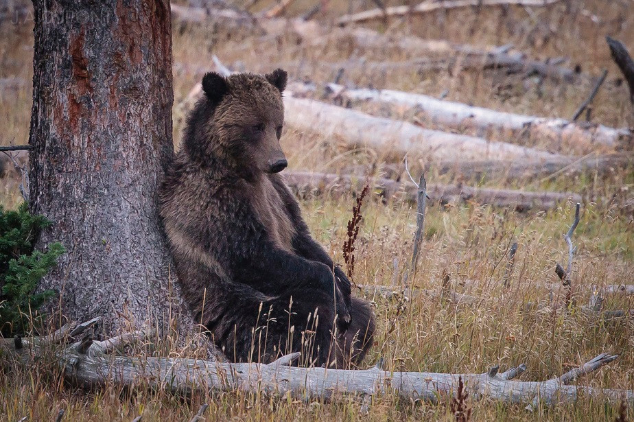 Bear under a tree, Yellowstone National Park, by wildlife photographer Jacques-André Dupont