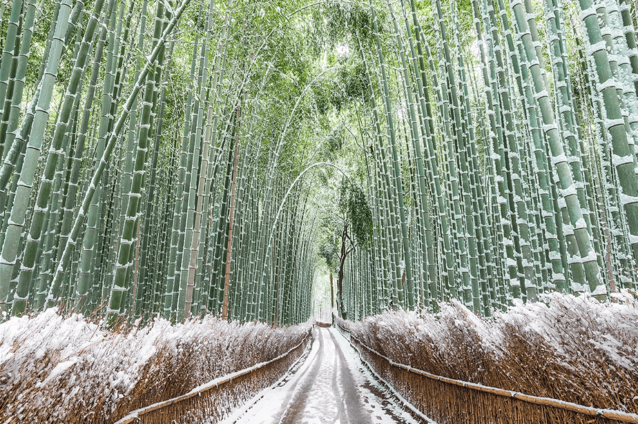 Bamboo forest in winter