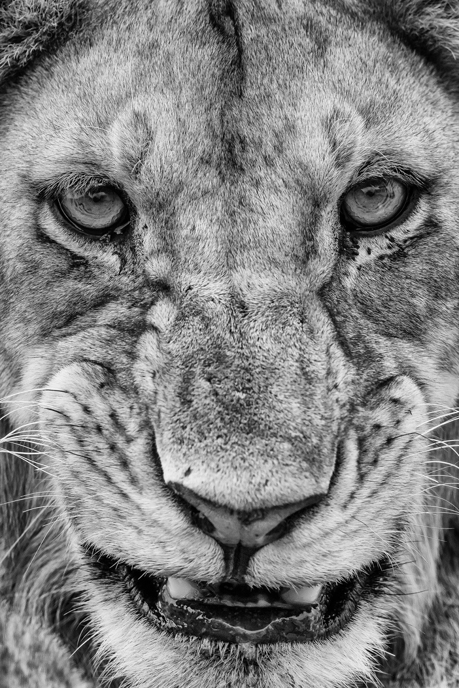 Face of a lion in black and white, Serengeti National Park, by Jacques-André Dupont