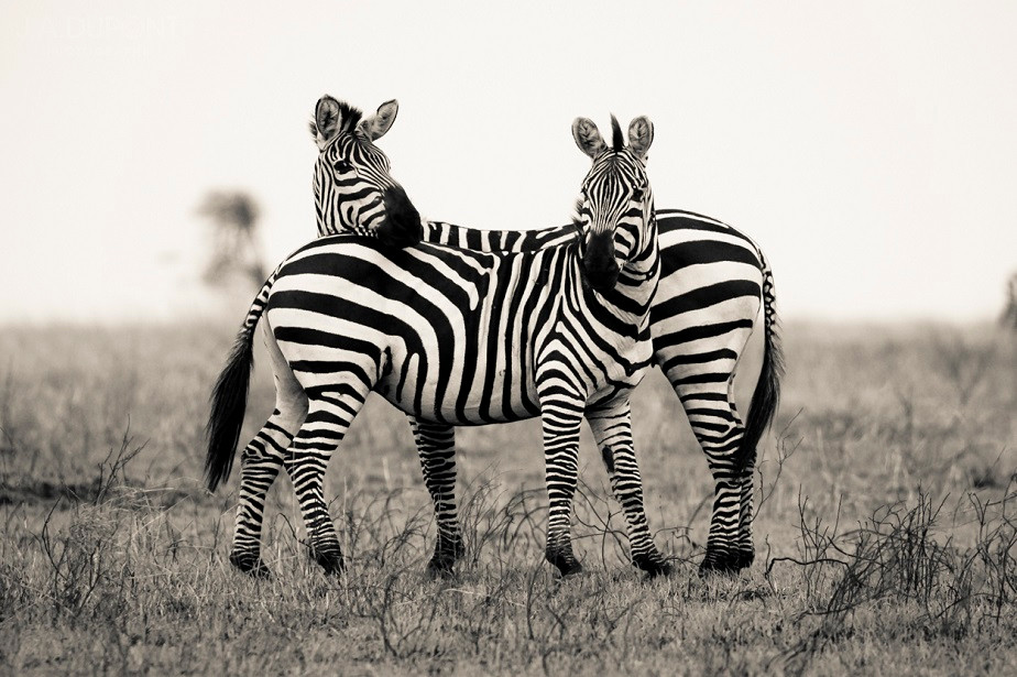 Zebra Protection, Serengeti National Park, by wildlife photographer Jacques-André Dupont