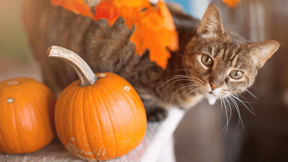 cute cat with pumpkin