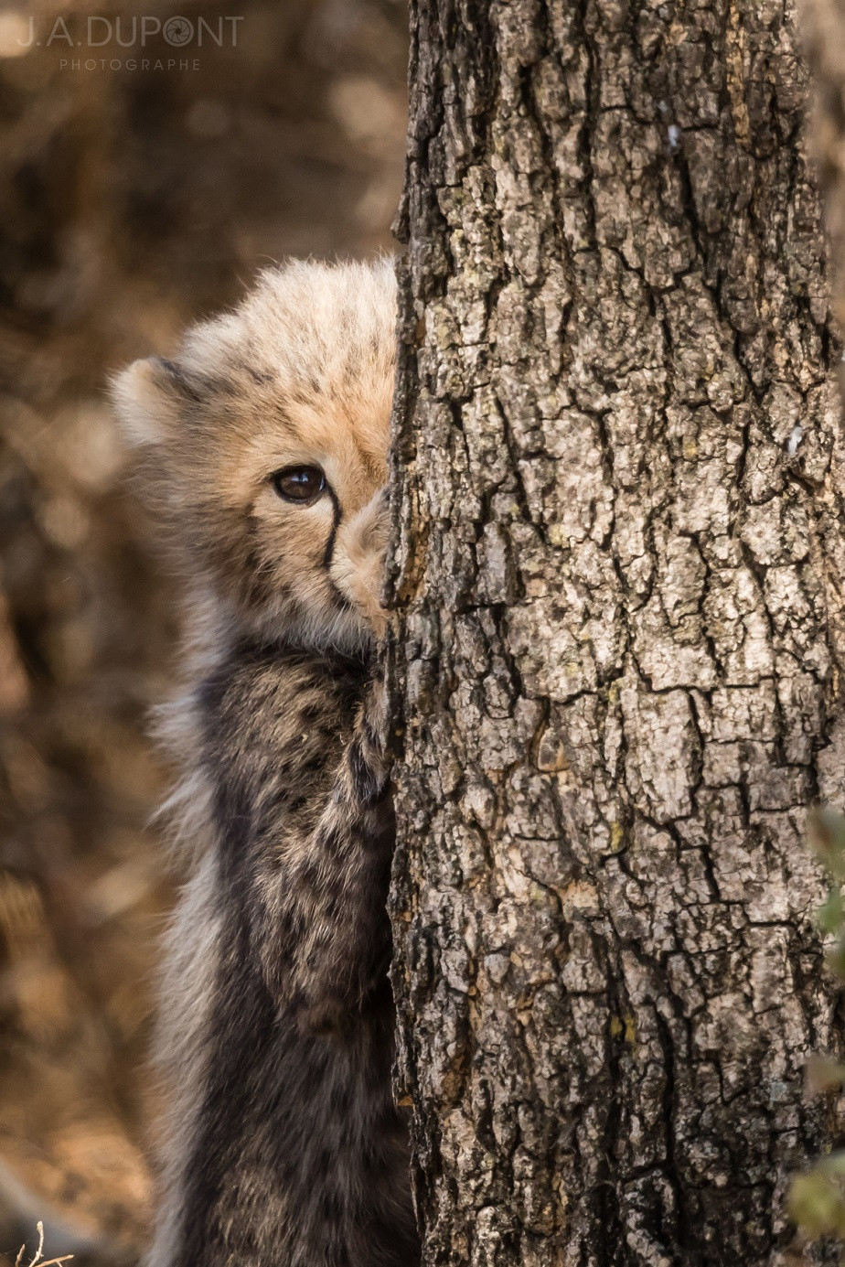 Shy But Curious, Serengeti National Park, by wildlife photographer Jacques-André Dupont