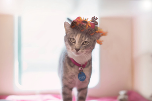diluted tricolor cat with flower crown looking at the camera