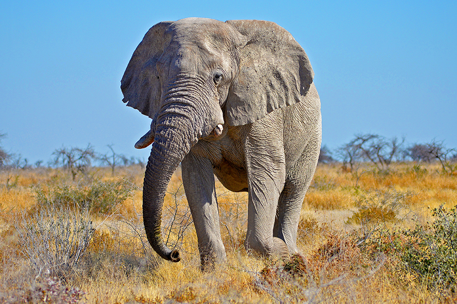 elephant walking on dry field