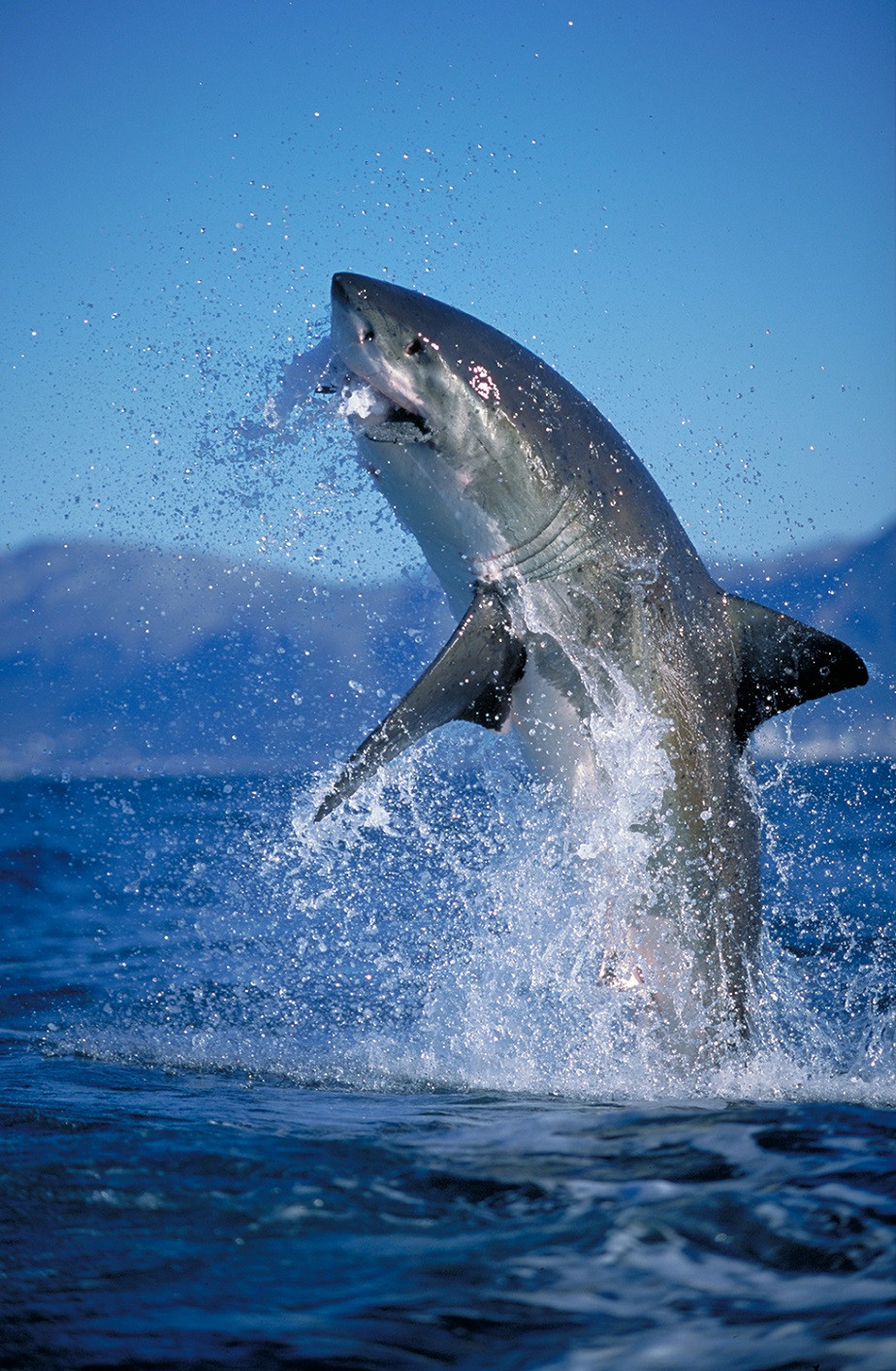 white shark jumping out of the water by wix photographer amos nachoum