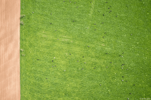 cows on green field aerial view