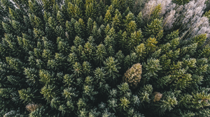 pine tree forest aerial view