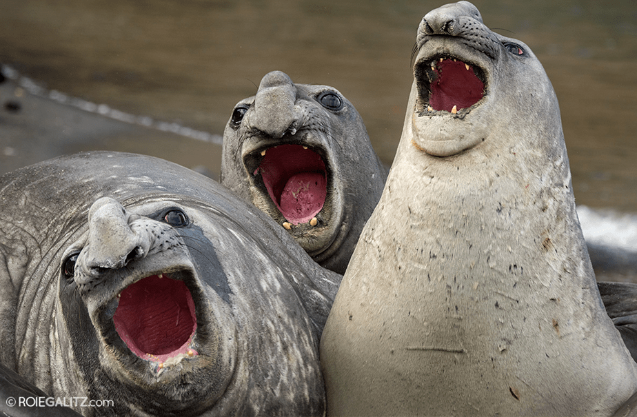 Three asian seals by Roie Galitz