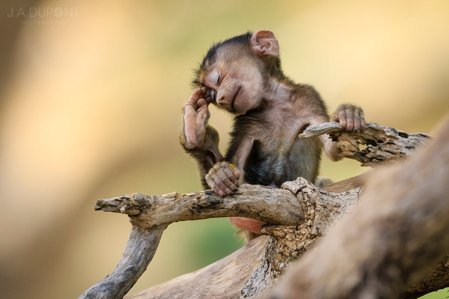 Funny little monkey on a tree, Tarangire National Park, by wildlife photographer Jacques-André Dupont