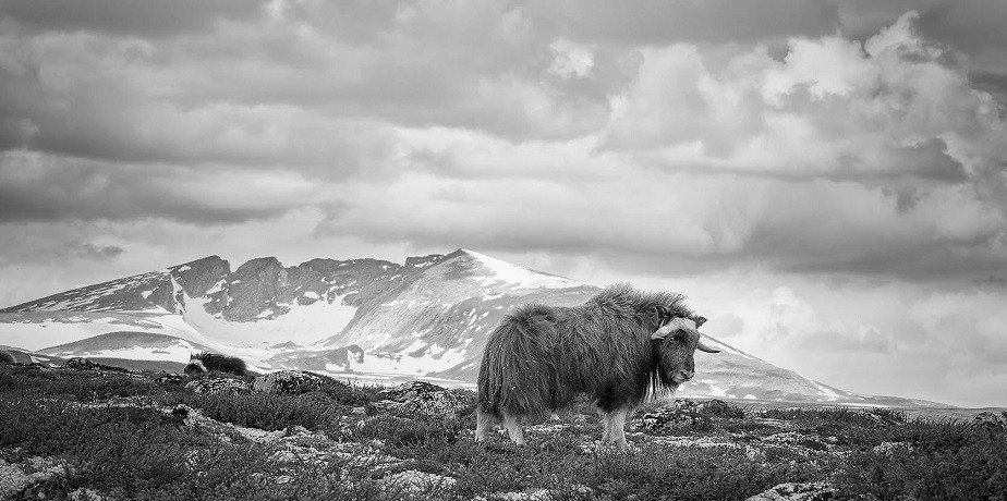 black and white picture of a yak in the snow by wix photographer eugene kitsios