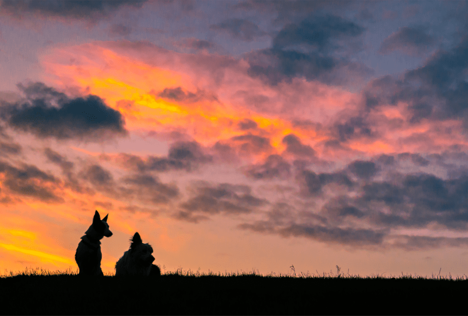 silhouettes of two dogs sitting on the grass watching a beautiful cloudy sunset