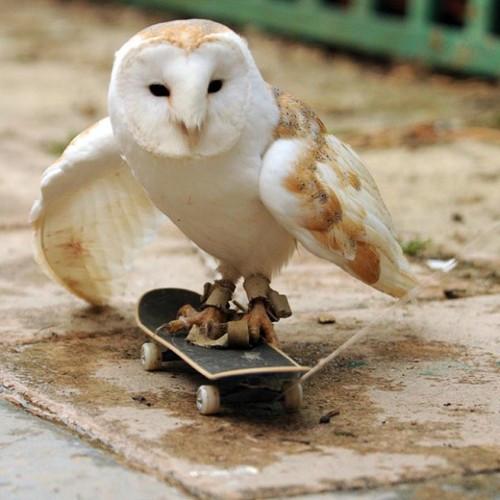 barn owl on skateboard