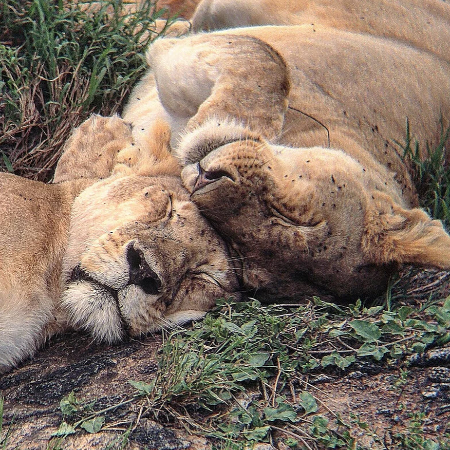 two lionesses sleeping together