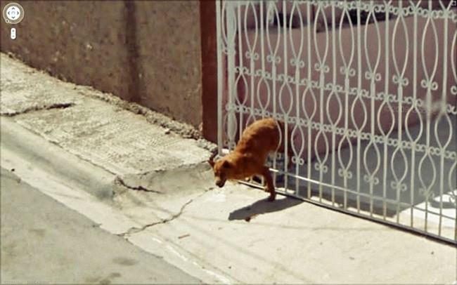 Weird Google Street View: Dog stuck in a fence