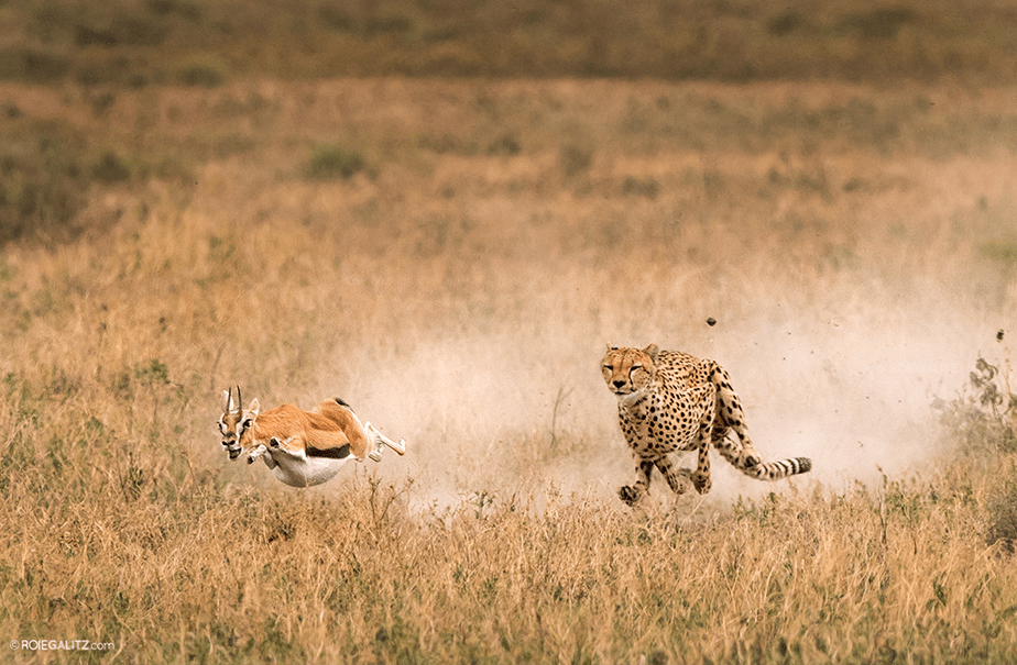 A leopard chasing an antilope by Roie Galitz