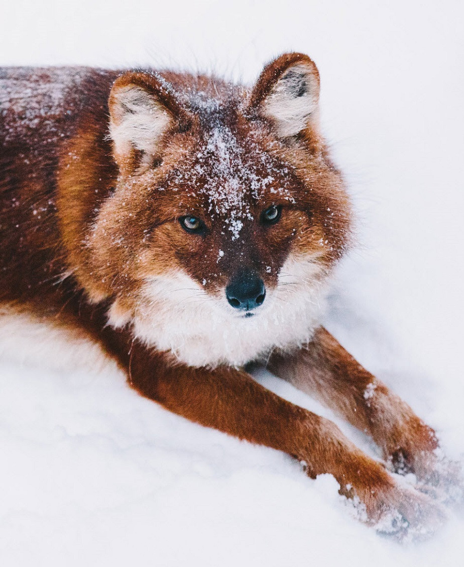 Fox in the snow in the Arctic by Wix photographer Remy Brand
