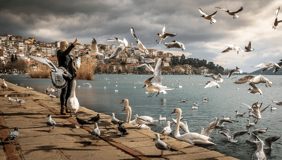 woman throws bread to the birds and swans on the edge of a lake