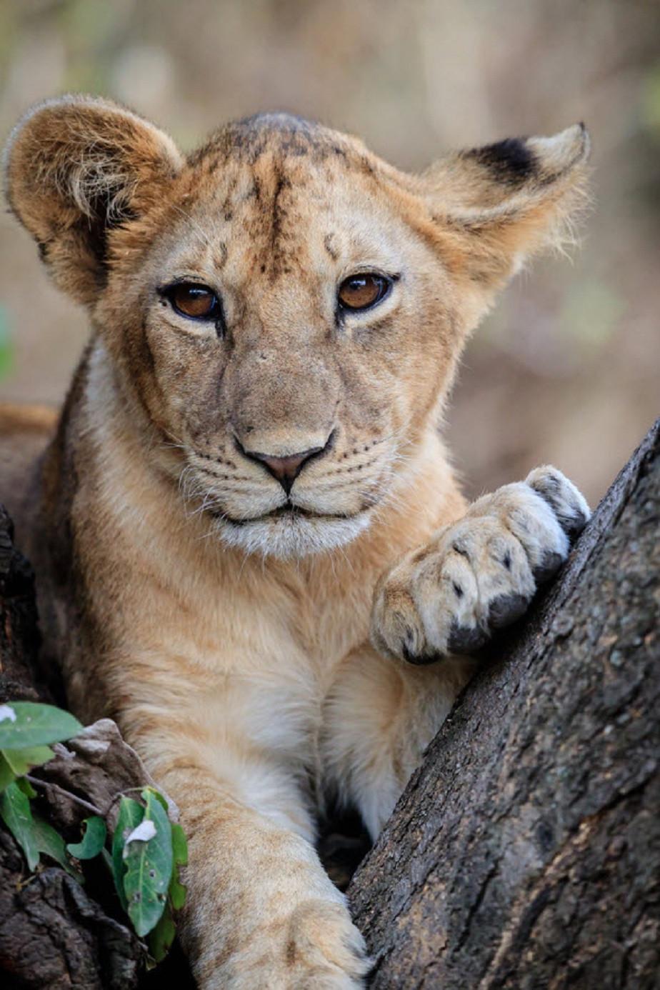 cute lion cube by wix photographer JA Dupont