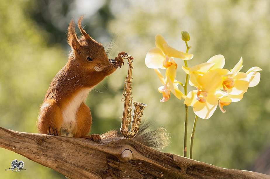 squirrel playing saxophone in a car by wix photographer geert weggen