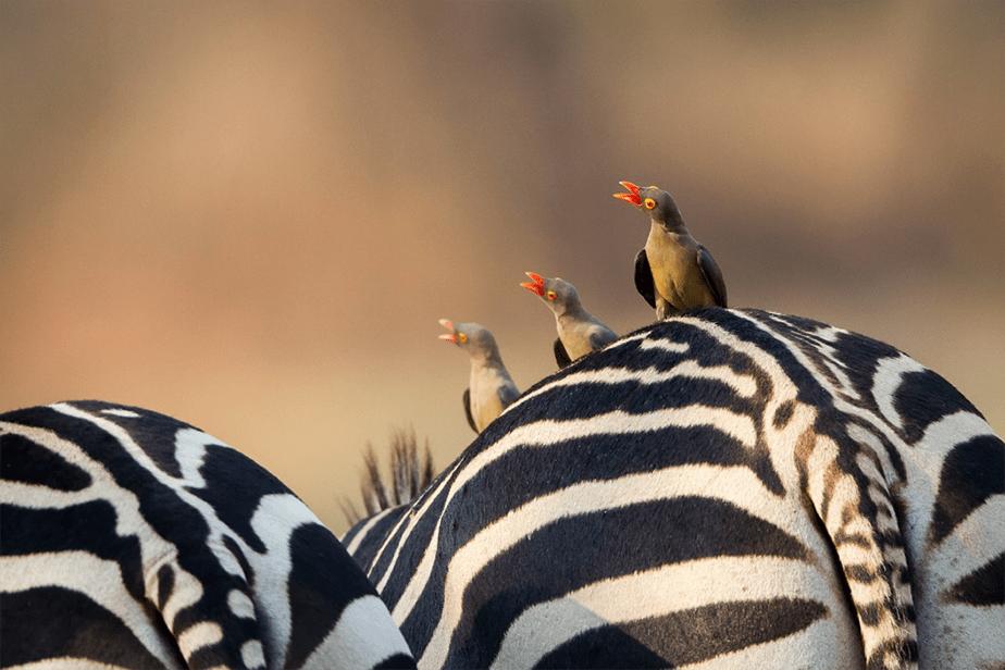 three little birds sitting on zebra's back