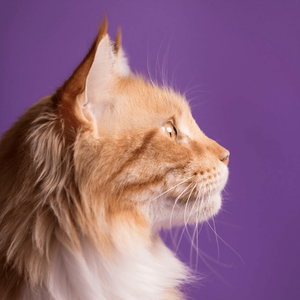 gingy cat studio portrait over a purple background