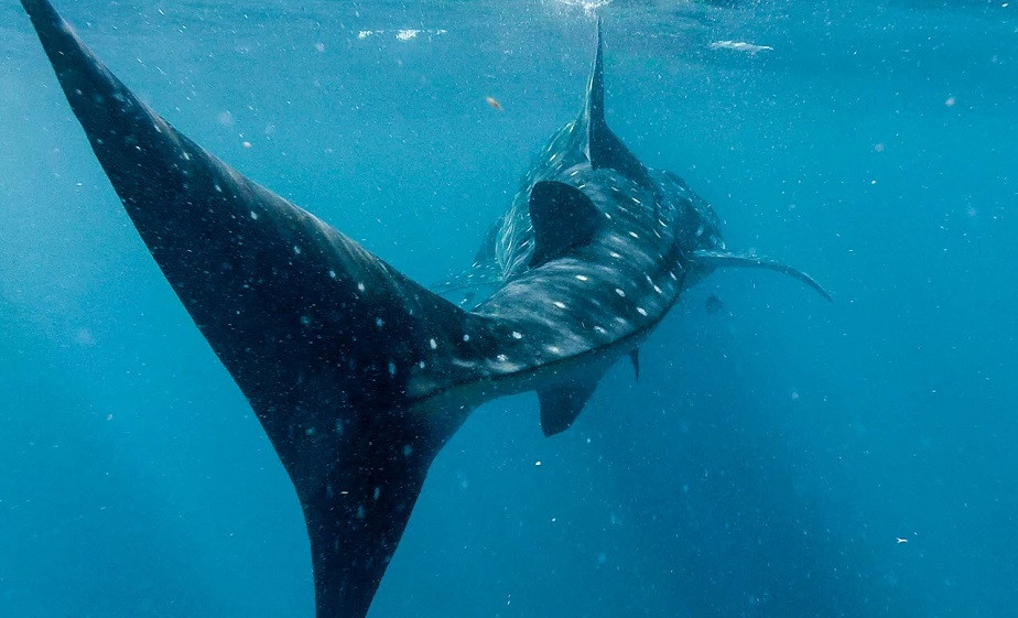 Tail of a Whale Shark by Wix Photographer Dalton Gaudin