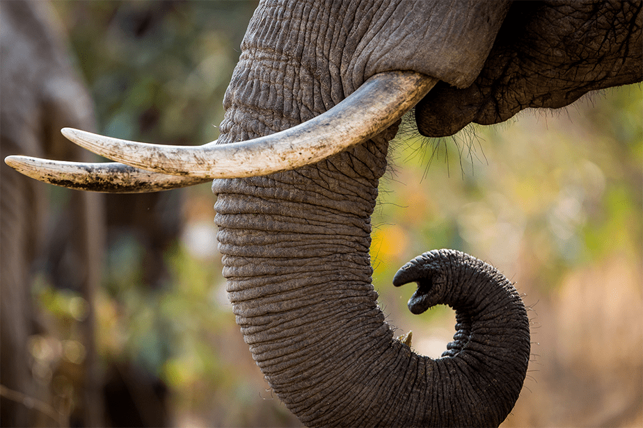 detail photo of elephant trunk and tusks