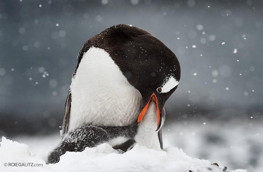 Penguin by Roie Galitz