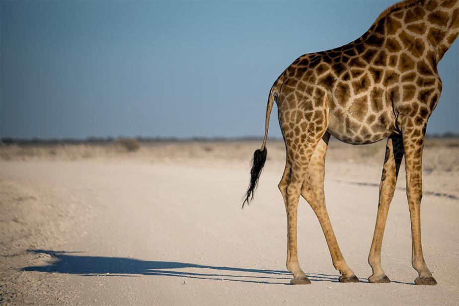 detail photo of giraffe body