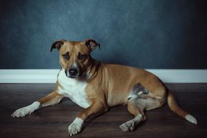 three-legged dog laying on the floor